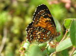 Harris's Checkerspot - Pockwock, NS, 2011-06-20