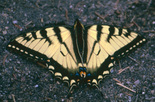 Canadian Tiger Swallowtail - Cape Breton Highlands NP, NS, 1995-06-24