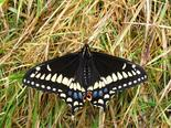 Short-tailed Swallowtail - Carron Point, NB, 2010-06-18