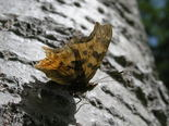 Satyr Comma - Bible Hill, 2005-06-14