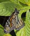 Monarch - McIntosh Run, Spryfield NS, 2012-07-25