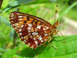 Silver-bordered Fritillary - Upper Hammonds Plains, NS, 2011-07-12