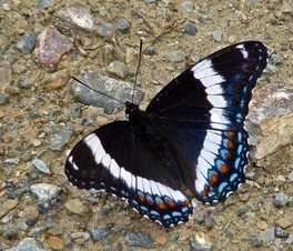 [White Admiral image]