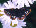 Baltimore Checkerspot - Gaspereau Valley, 2002-06-20