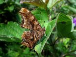 Eastern Comma - Fredericton, NB, 2010-07-27