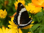 White Admiral - Apple River, NS, 2012-07-17