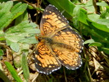 Harris's Checkerspot - Apple River, NS, 2012-06-13