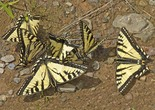 Canadian Tiger Swallowtail - Elbow Lake, 2013-06-20