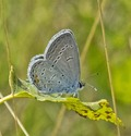 Eastern Tailed-Blue - North of Debert, 2013-08-21