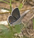 Eastern Tailed-Blue - Smithville, TX, 2005-05-02