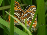 Harris's Checkerspot - Apple River, NS, 2013-06-29