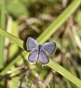 Eastern Tailed-Blue - Lochaber Mines, 2013-09-07